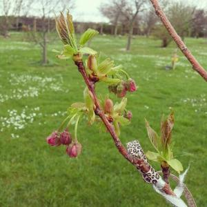 Abi's blossom